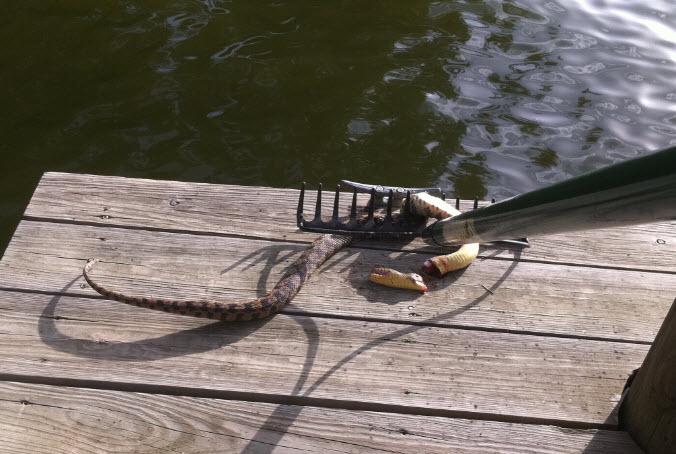Water Moccasin Kill On Cross Lake In Shreveport La Cross Lake