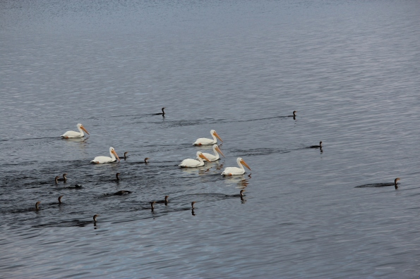 louisiana white pelicans on cross lake shreveport