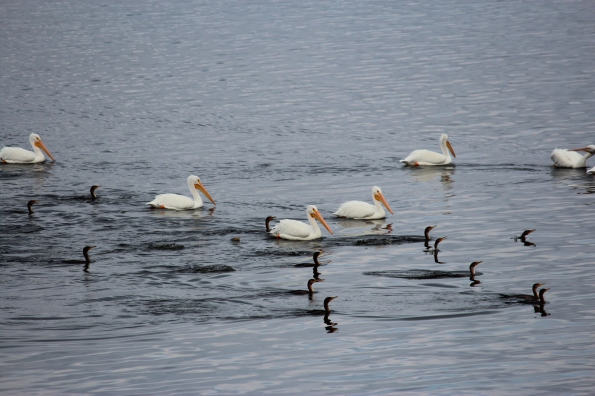 white pelicans on cross lake louisiana