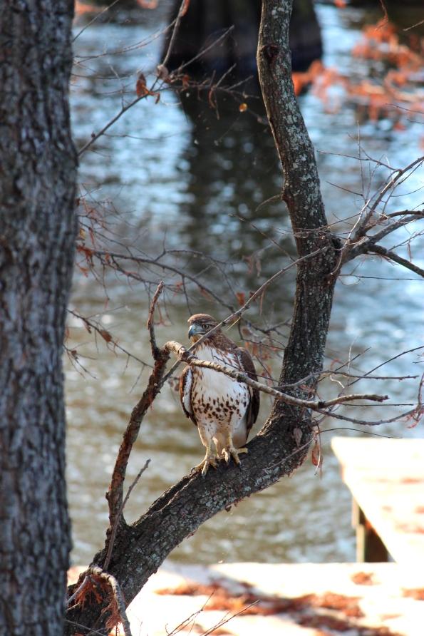 hawk on cross lake shreveport