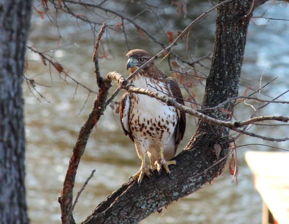 louisiana brown spotted hawk
