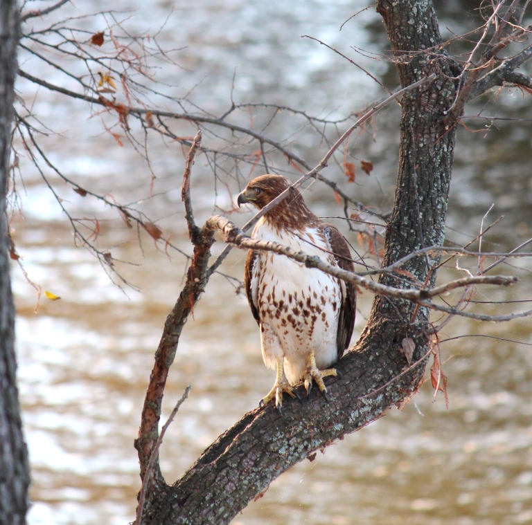louisiana hawk