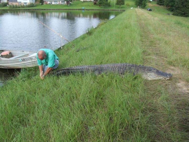 alligator on Cross Lake