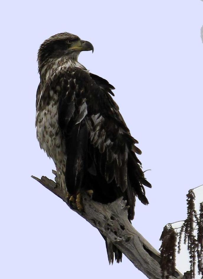Bald Eagle Perched, photo credit Vicki Harbour of Shreveport