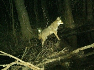 Coyote On Cross Lake Shreveport Louisiana