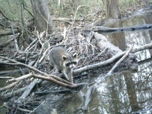 Raccoon on Cross Lake Shreveport Louisiana