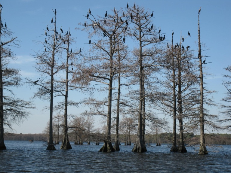 Cormorants photo courtesy of Paul Freudenberg from Seguin, Texas