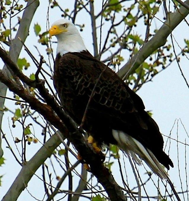 Bald Eagle in Shreveport Louisiana by Vicki Harbour