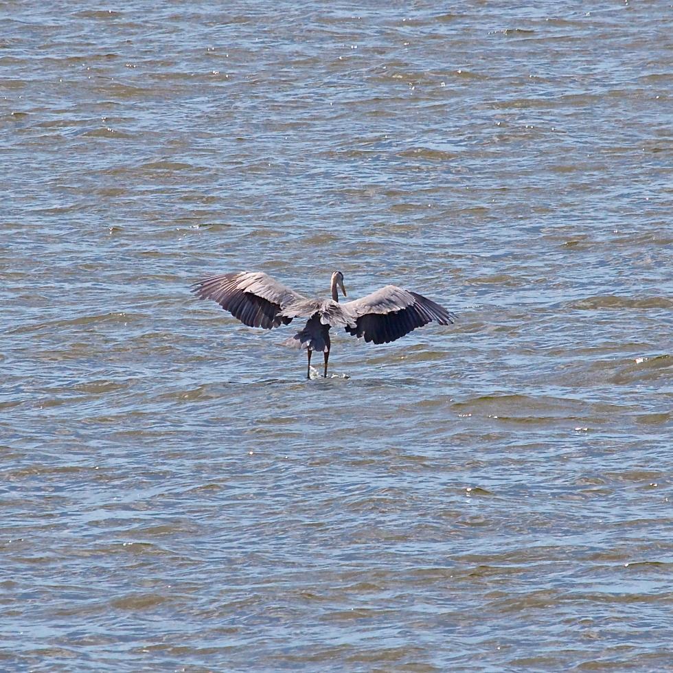 Louisiana Gray Egret Landing