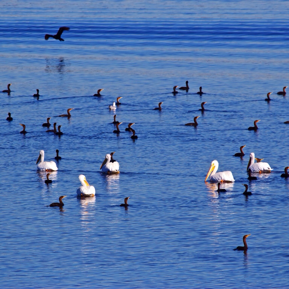 Pelicans and Cormorants on Cross Lake in Louisiana