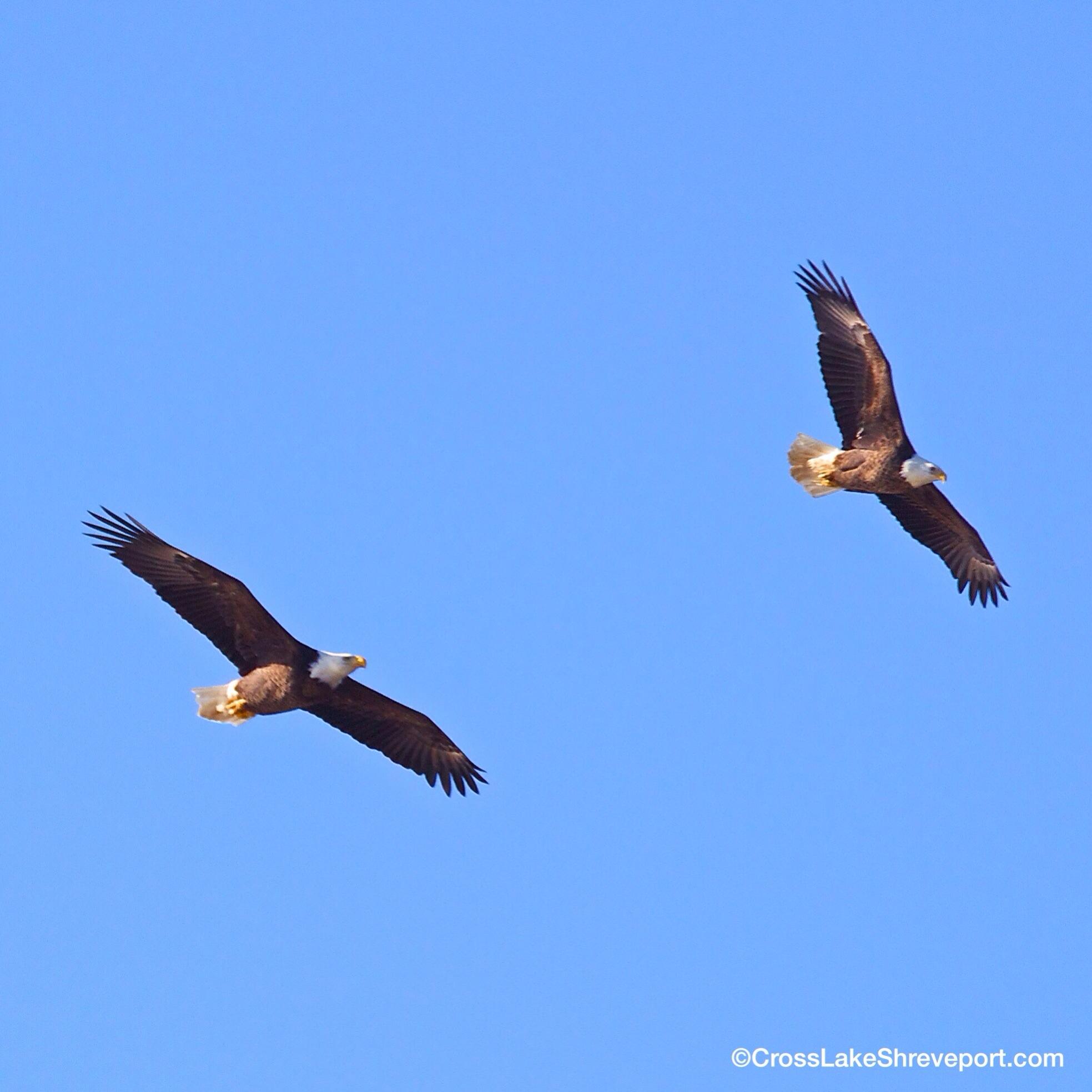 5 Pictures Of Bald Eagles In Shreveport Cross Lake Shreveport