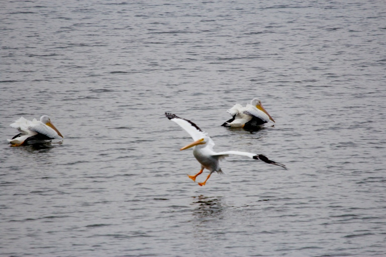 pelicans landing on cross lake