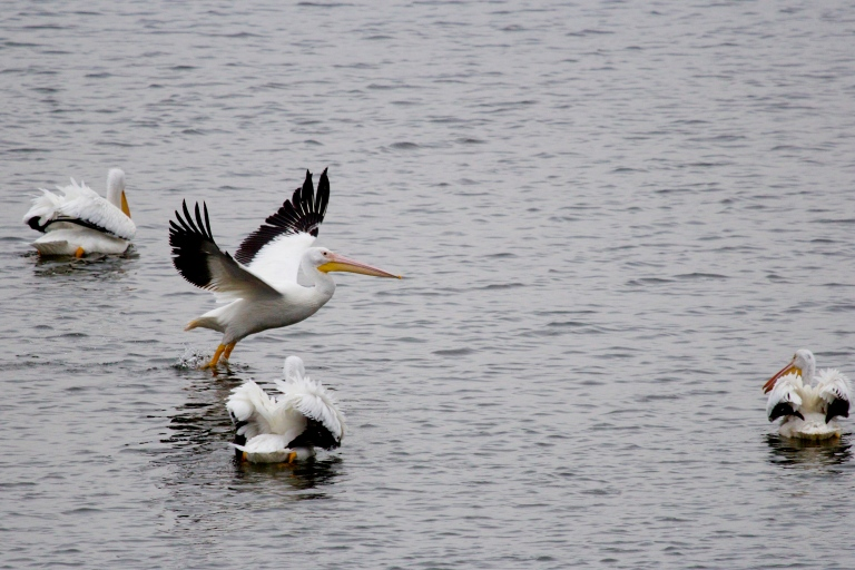 pelican taking flight on lake in louisiana on cross lake