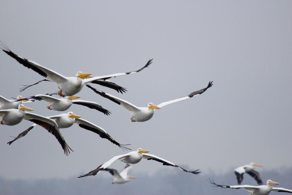 pelicans flying over cross lake shreveport photographer