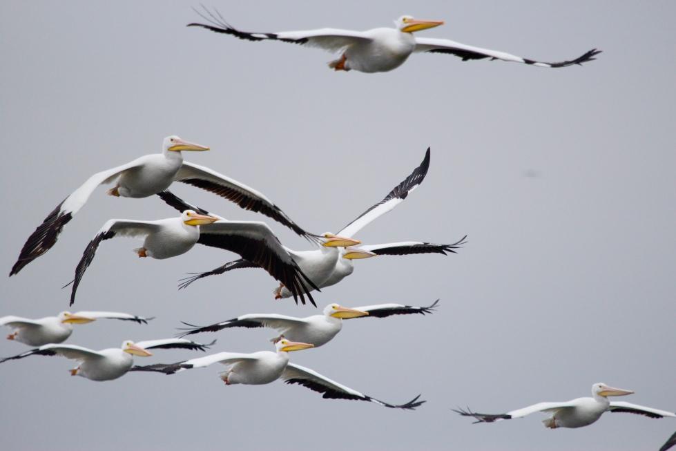pelicans flying in louisiana on cross lake in shreveport
