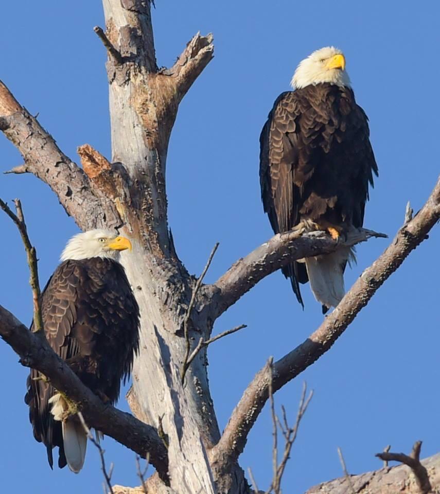Bald Eagle On Cross Lake In Shreveport Louisiana Cross Lake Shreveport