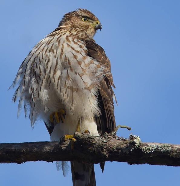 Coopers Hawk in Louisiana photo by Dot Rambin