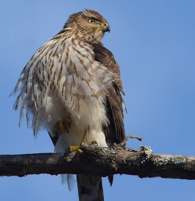 Coopers Hawk in Louisiana photo by Dot Rambin